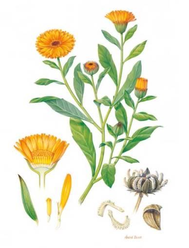calendula_officinalis_botanical_drawing