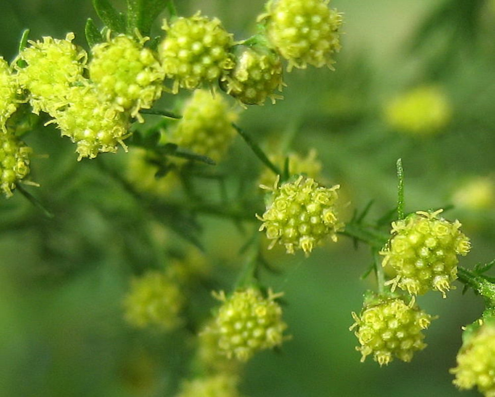 Chinese Wormwood | Materia Medica | by Kelly the Naturopath