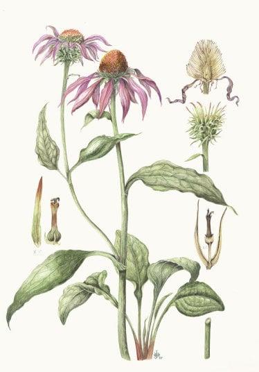 echinacea-003.jpg