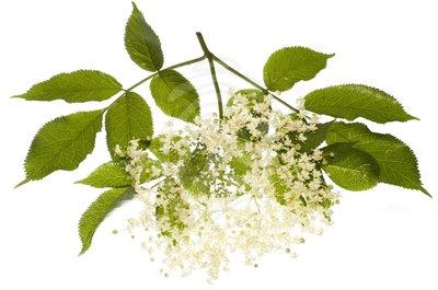 royalty-free-stock-pictures-elderflower-elder-tree-12199029