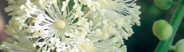 Black-Cohosh-flowers