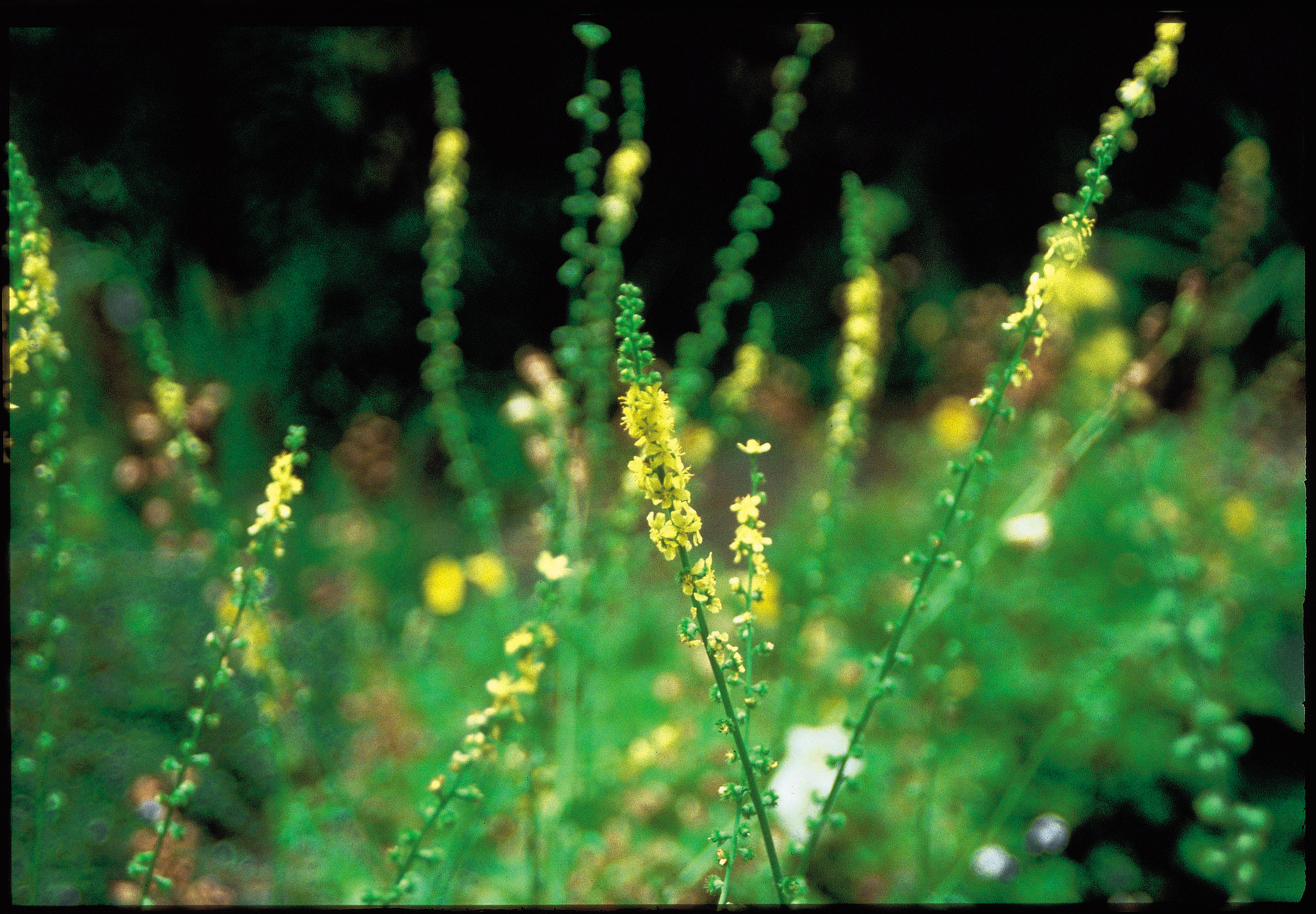 Agrimony: medicinal properties and contraindications. Therapeutic properties of burdock and recipes of folk medicine