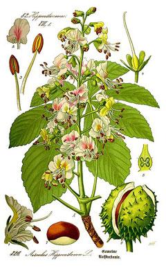AesculusHippocastanum