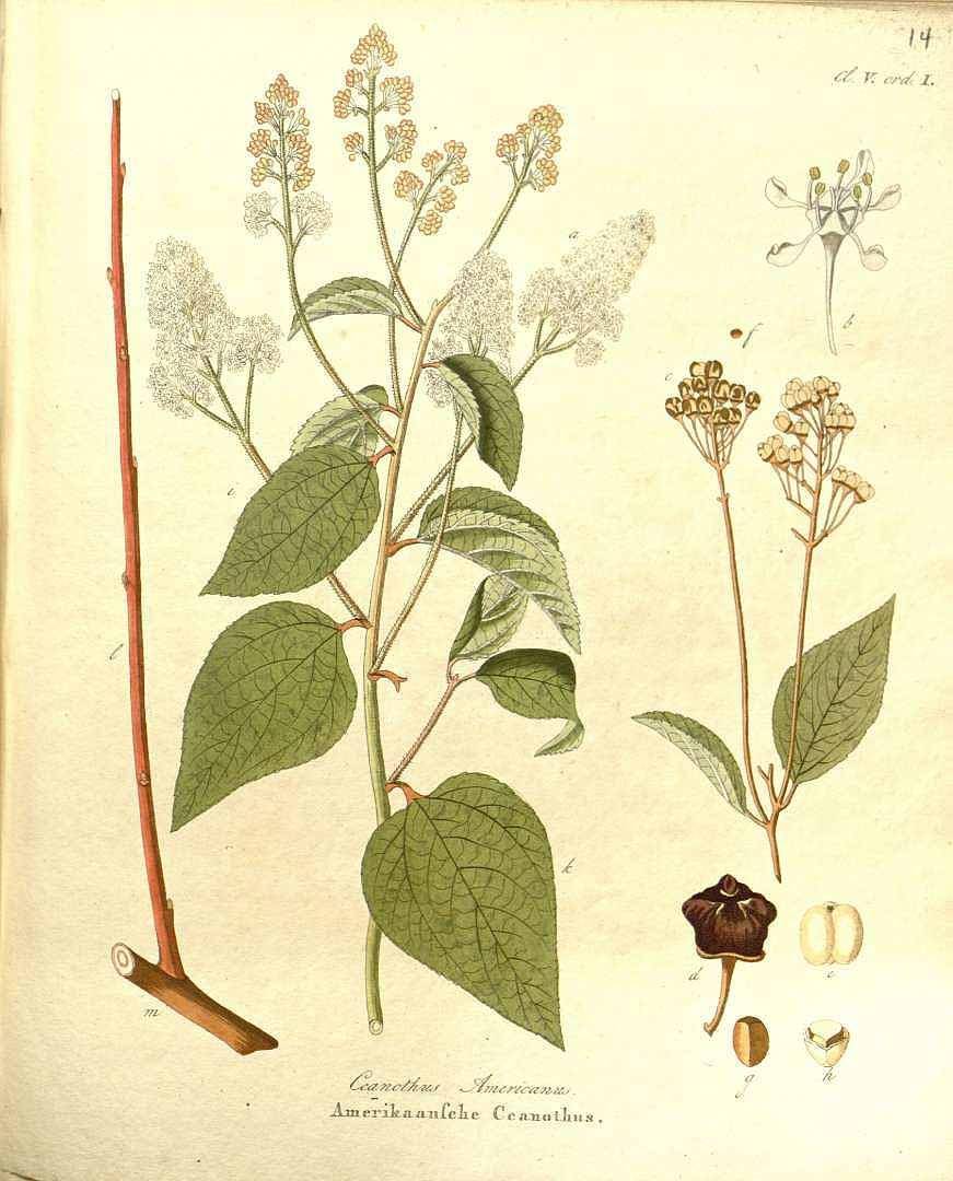 ceanothus-americanus-red-root-illustration.jpg