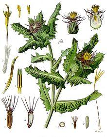Centaurea_benedicta_-_Köhler–s_Medizinal-Pflanzen-043.jpg