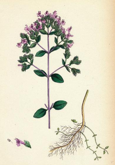 origanum-vulgare-var-genuinum-common-marjorum-var-english-school.jpg